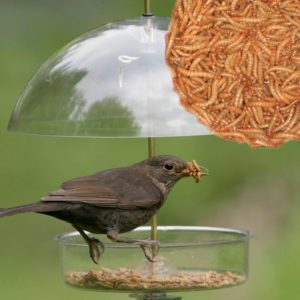 Bird Eating Meal Worms
