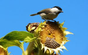Bird Eating on Sunflower Plant