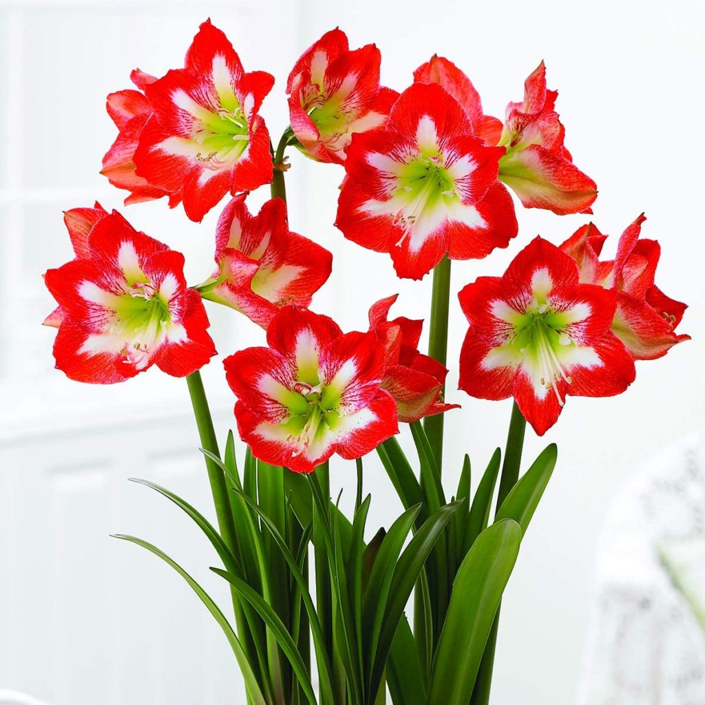 Red and Whiite Amaryllis blooms