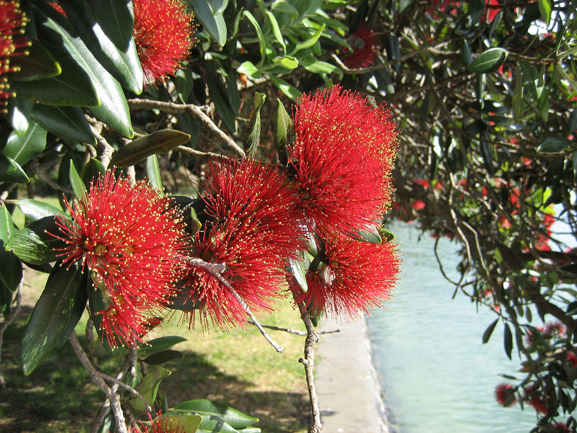 Metrosideros Christmas Bush in Australia