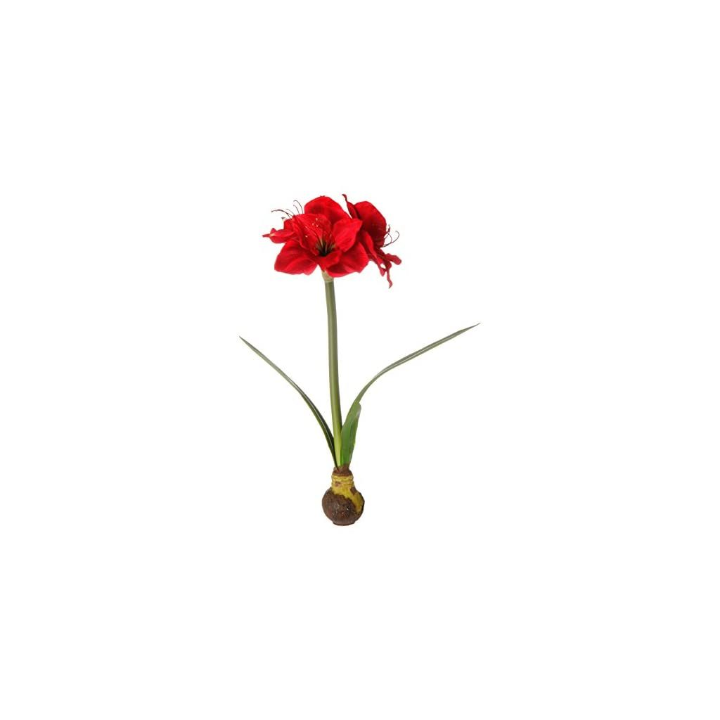 Red Amaryllis with bulb