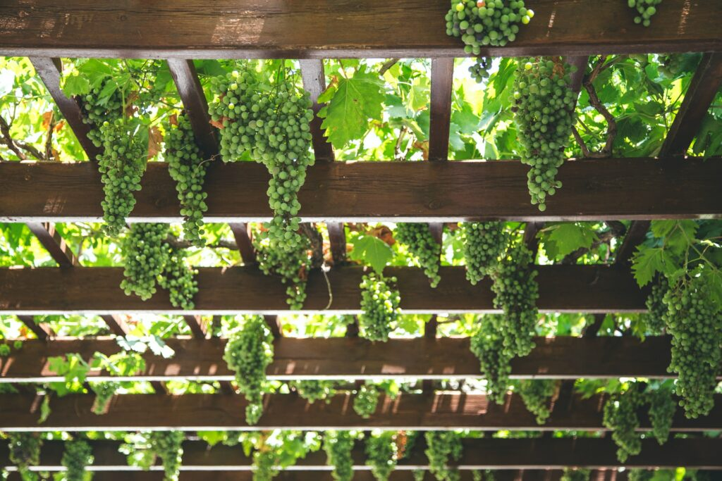 pergola with grapes growing on it